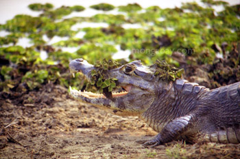Black caiman in the Pantanal