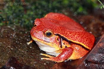Madagascar Tomato Frog from Madagascar