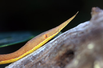 Madagascar leaf-nosed snake
