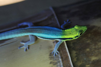 	Klemmer Kuning berkepala Hari Tokek (Phelsuma klemmeri)	