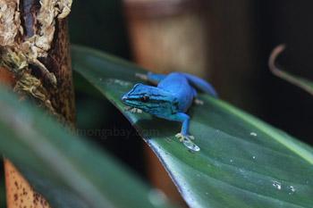 Tanzania biru tokek (Lygodactylus williamsi)