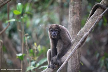 Woolly monkey in Colombia