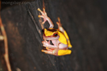 Clown tree frog in Amacayacu National Park, Colombia