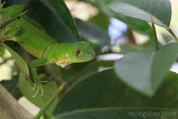 Juvenile iguana hijau (Iguana iguana) di Kolombia