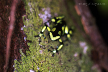 Green and Black Poison Dart Frog in Colombia