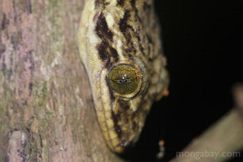 Gecko in Costa Rica