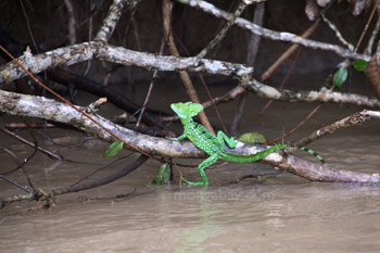 The Green 'Jesus Christ Lizard'