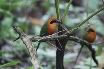 Pair of Rufous Motmot 