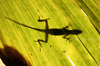 Anole in Costa Rica