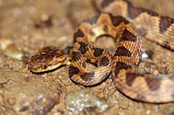 Common chunk headed snake (Imantodes cenchoa) in Costa Rica