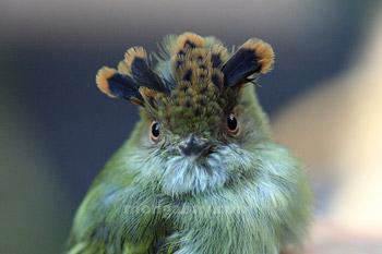 Skala-jambul Pygmy-tiran di Kosta Rika