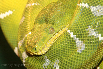 Emerald Boa from South America