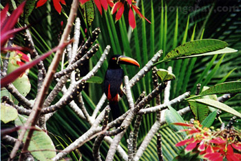 Fiery Billed Aracari in Costa Rica