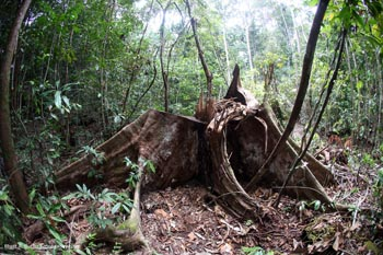 Illegal logging inside Gunung Palung National Park