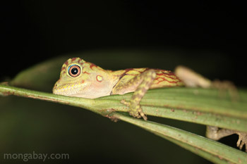 Baby forest dragon in Indonesian Borneo