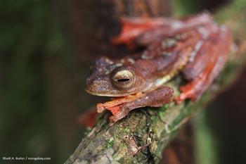 Kalimantan Meluncur macan tutul pohon katak di Kalimantan, Indonesia