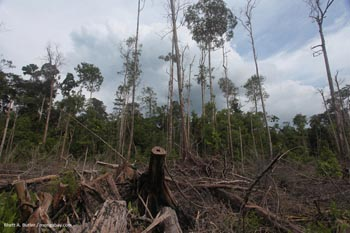Destruction de la forêt tourbeuse dans l'ile de Kalimantan