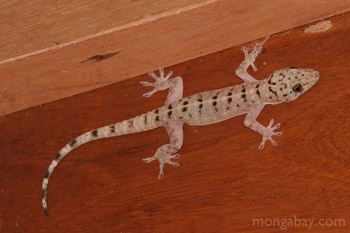 Gecko lizard species with black markings in Kalimantan, Indonesian Borneo
