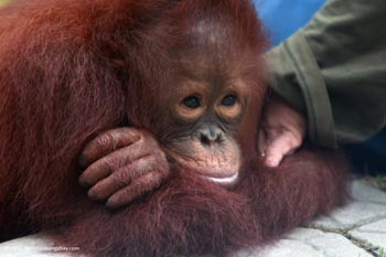 Baby orangutan in a rescue center in Borneo