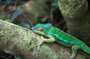 	Pria panther bunglon (Furcifer pardalis)	