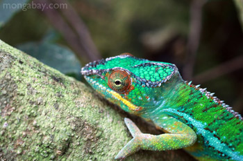Male panther chameleon in Madagascar