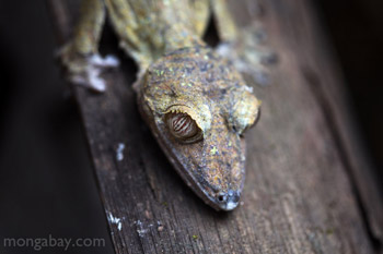 	Raksasa Leaftailed Tokek (Uroplatus fimbriatus)	