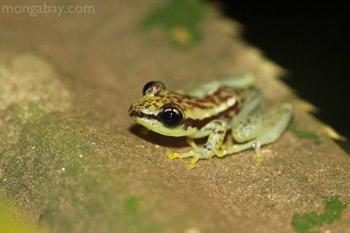 Guibemantis pulcher frog in Madagascar