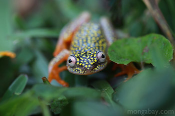 White Spotted Reed Frog in Madagascar