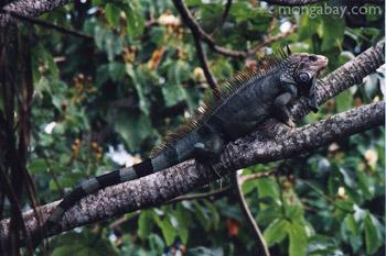 Uroplatus phantasticus daun-ekor tokek