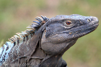 	Hitam iguana (Ctenosaura similis) di Panama	