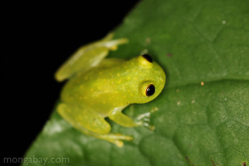 Green tree frog (glassfrog) in Panama