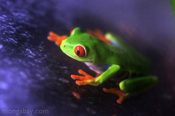 Bermata merah Treefrog