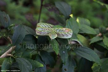 Vine oriental Ular (Ahaetulla prasina) di Sulawesi, Indonesia