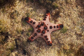 Starfish on a reef in North Sulawesi