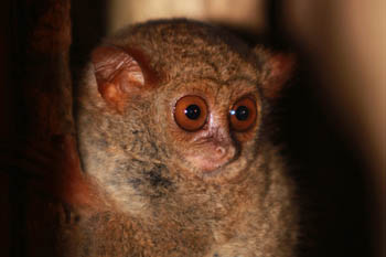 Tarsier fantme