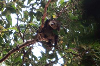 Bear Cuscus