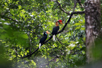 Red-knobbed or Sulawesi hornbills
