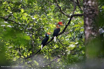 Hornbills in Sulawesi