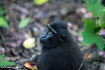 Crested back macaque