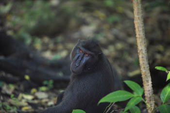 Crested back macaque in Tangkoko