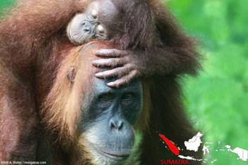 Mama orangutan with baby in Sumatra
