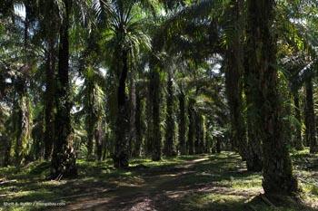 Oil palm plantation in Sumatra