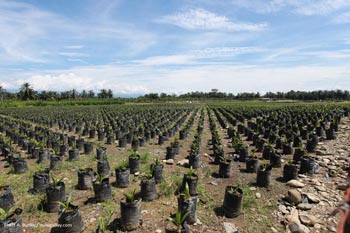 Oil palm seedlings in Sumatra