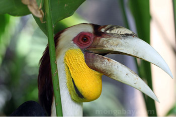 Dilingkari Hornbill (Aceros undulatus) di Indonesia