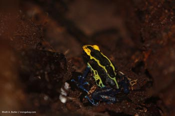 Mother poison dart frog with tadpoles on its back in Suriname