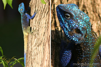 	Biru-pohon kepala agama (Acanthocerus atricollis)	