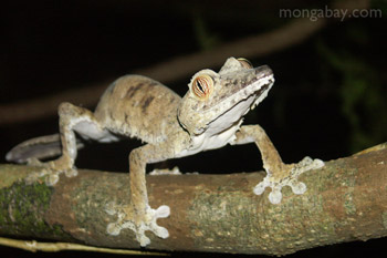 	Uroplatus fimbriatus tokek di Nosy Mangabe	