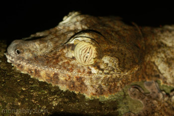 Uroplatus fimbriatus tokek di Nosy Mangabe