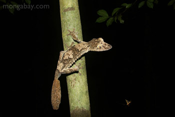Giant flat-tail gecko (Uroplatus fimbriatus) in Madagascar