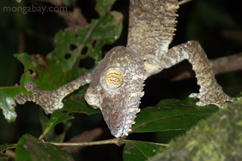 	Tokek raksasa leaftailed (Uroplatus fimbriatus) di Madagaskar	